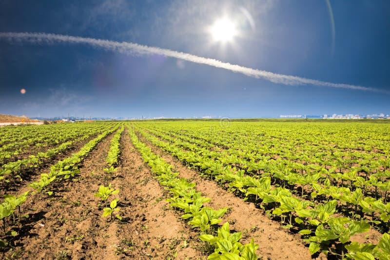 Gemüsefeld und schöner Himmel stockbilder