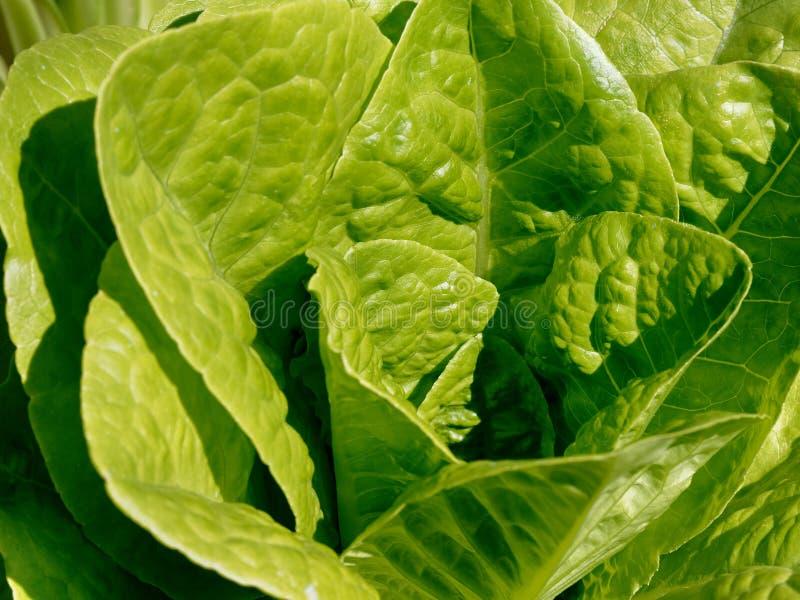 Gemüsegarten der Kopfsalatnahaufnahme lizenzfreies stockbild