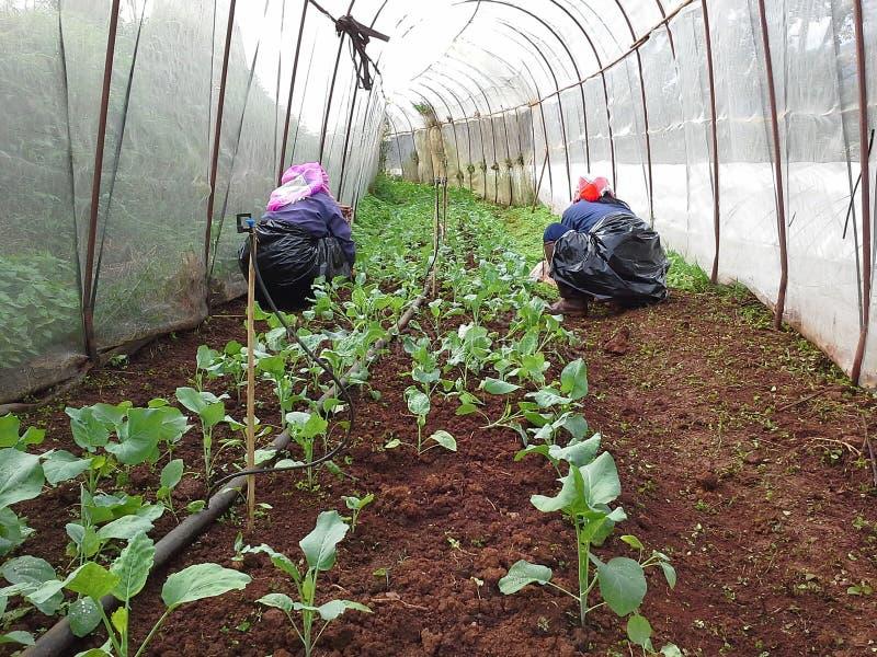 Gemüsegarten des Beseitigungsunkrauts stockbilder