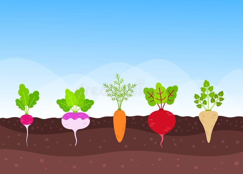 Gemüsegarten mit wachsenden Wurzelernten lizenzfreie abbildung