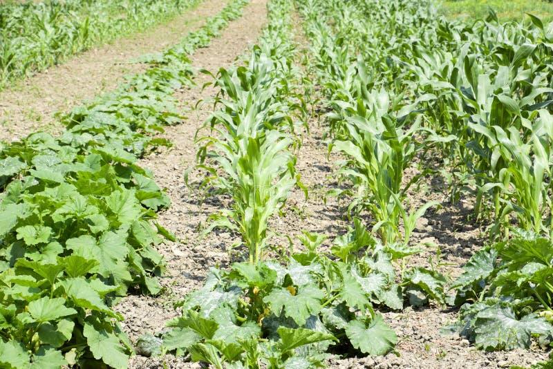 Gemüsegarten mit Zucchini und Mais Gemüsebetten im Garten Unkrautbetten stockfoto