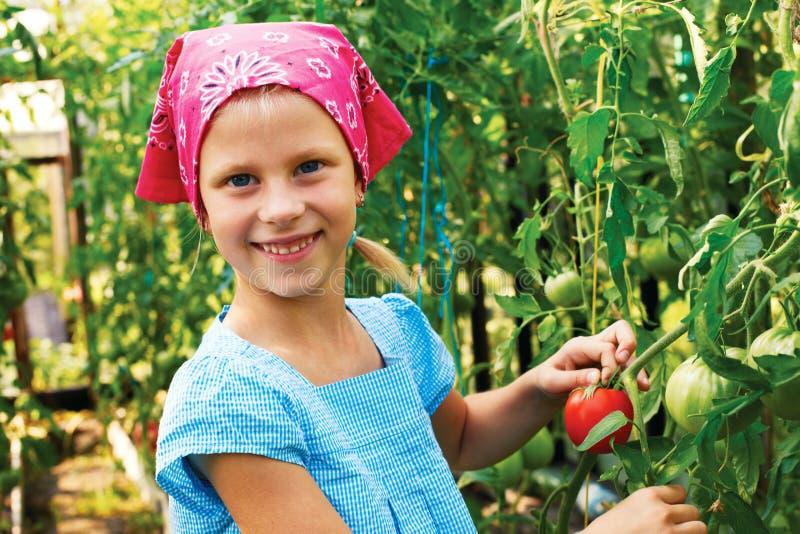 Gemüsegarten - reizender Gärtner mit Ernten von tomatoe lizenzfreie stockfotos