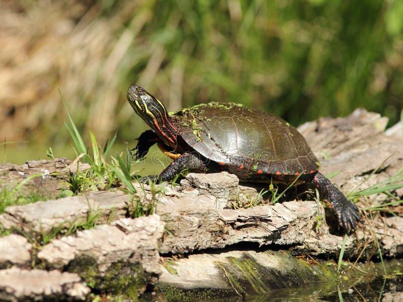 Gemalte Schildkröte, die auf einem Protokoll aalt lizenzfreies stockbild