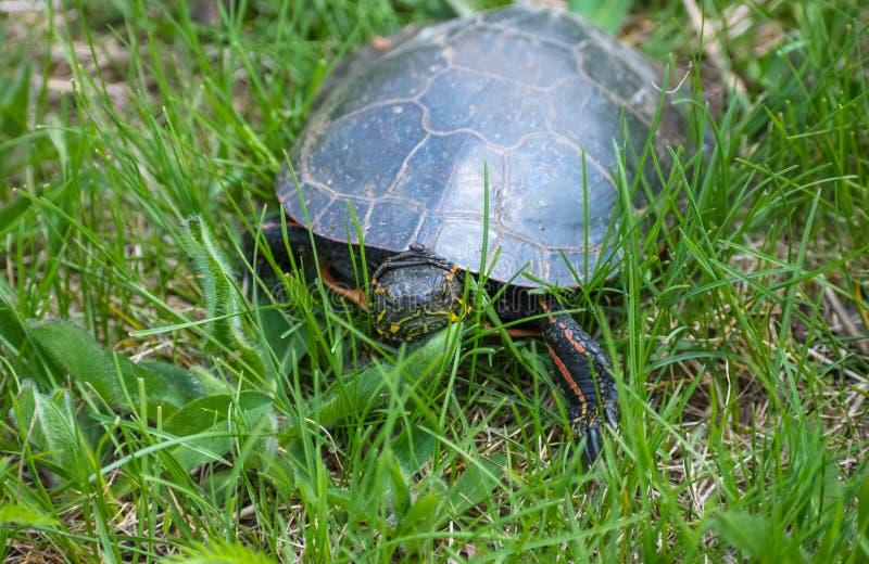 Gemalte Schildkröte im Gras stockbilder