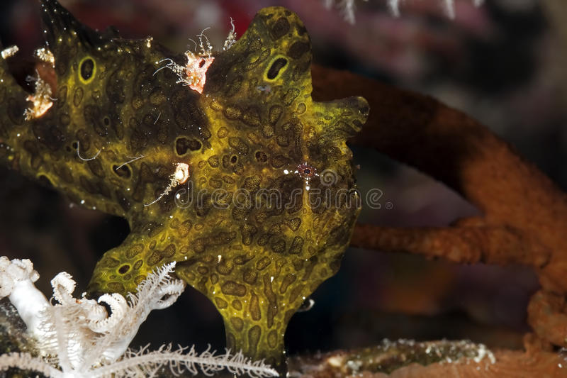 Gemalter Frogfish stockbild