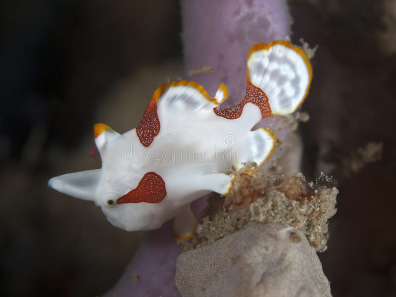 Gemalter Frogfish stockfoto