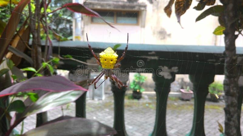 Gemaskeerde spin stock fotografie