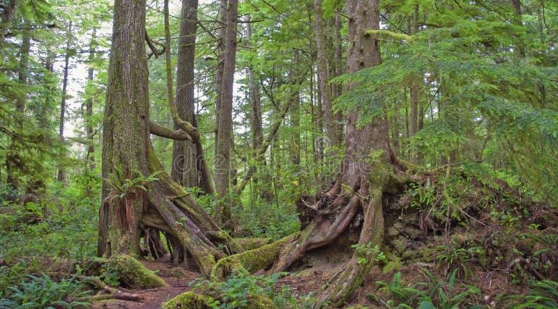 Gematigd Regenwoud op de Vreedzame Kust stock afbeelding
