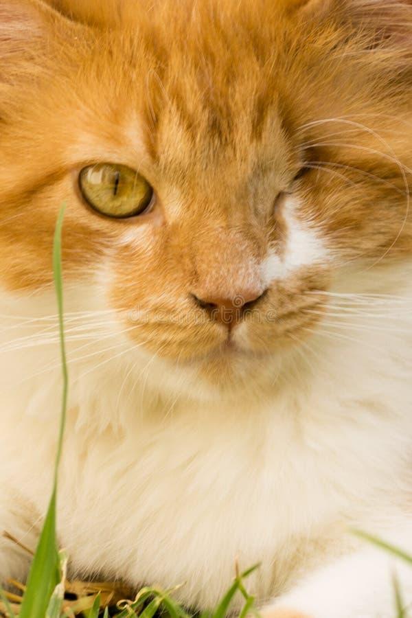 Gember één de close-up van de oogkat royalty-vrije stock afbeeldingen