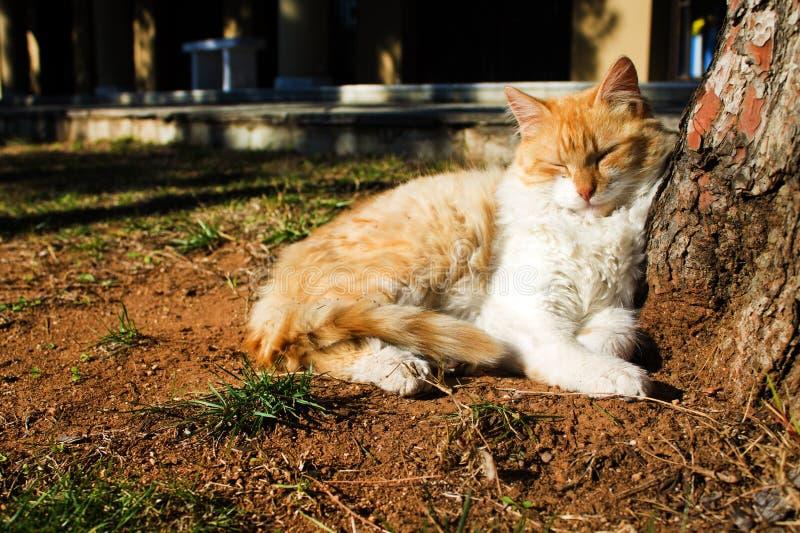 Gember en witte pluizige kat die ter plaatse onder de boom dutten stock afbeelding