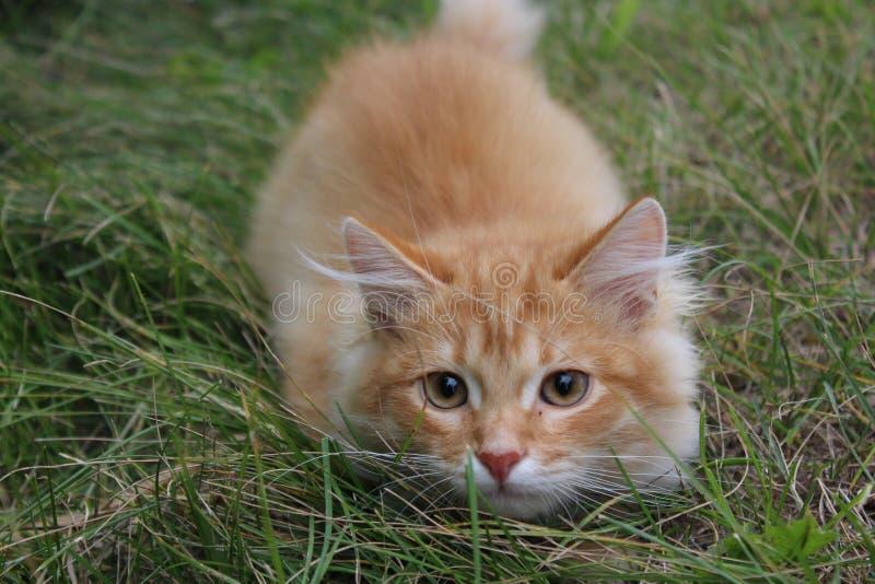 Gember sweety kat op het gras royalty-vrije stock foto's
