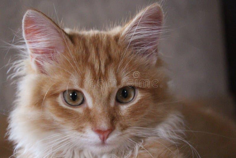 Gember sweety kat op het gras stock foto