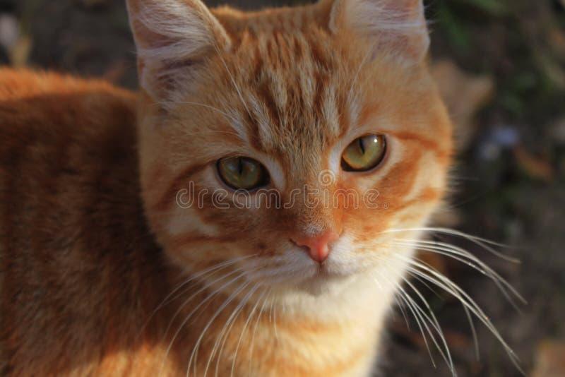 Gember verdwaalde kat die de camera onderzoeken stock afbeelding