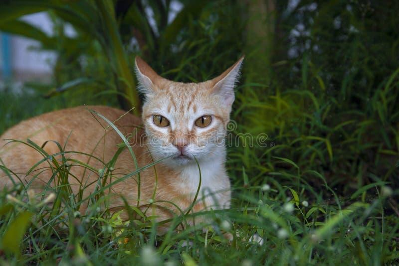 Gemberkat in groen gras Leuke kat in de zomertuin De binnenlandse huisdierenjacht en ontspant openlucht Oranje kattenportret stock afbeeldingen