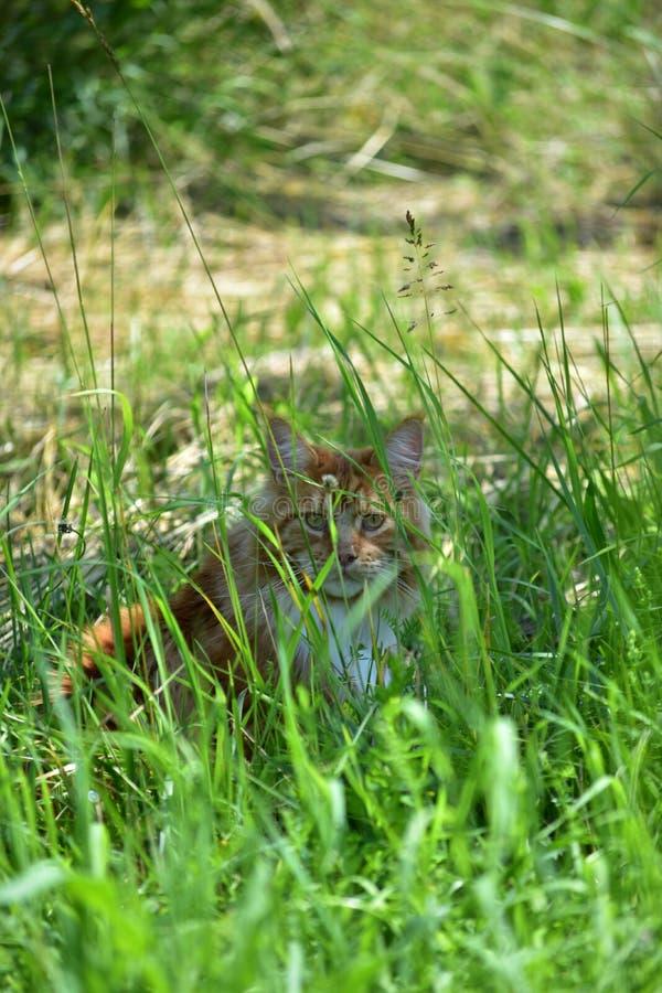 Gemberkat het verbergen in het hoge gras stock fotografie