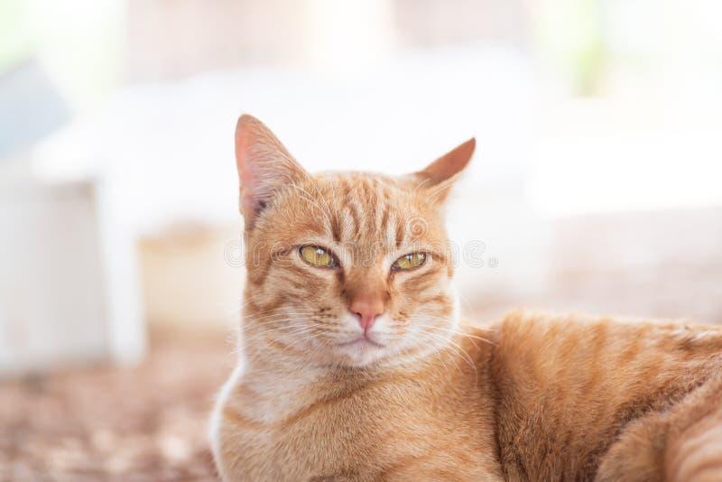 Gemberkat, leuke huisdieren stock foto