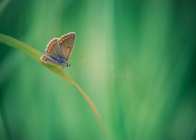 gemeenschappelijk azuurblauw insect alleen in de zomer in weide op grassprietje op groene achtergrond royalty-vrije stock foto's