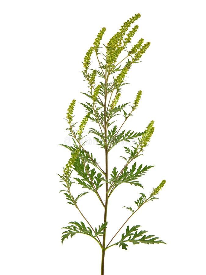Gemeenschappelijk bloeien ragweed geïsoleerd op witte achtergrond stock foto's