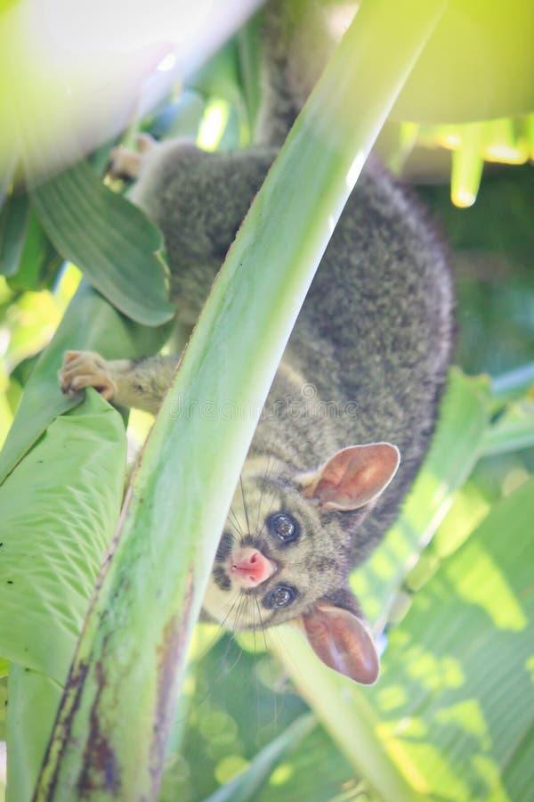 Gemeenschappelijk Brushtail-Opossum op Banaanboom stock afbeelding