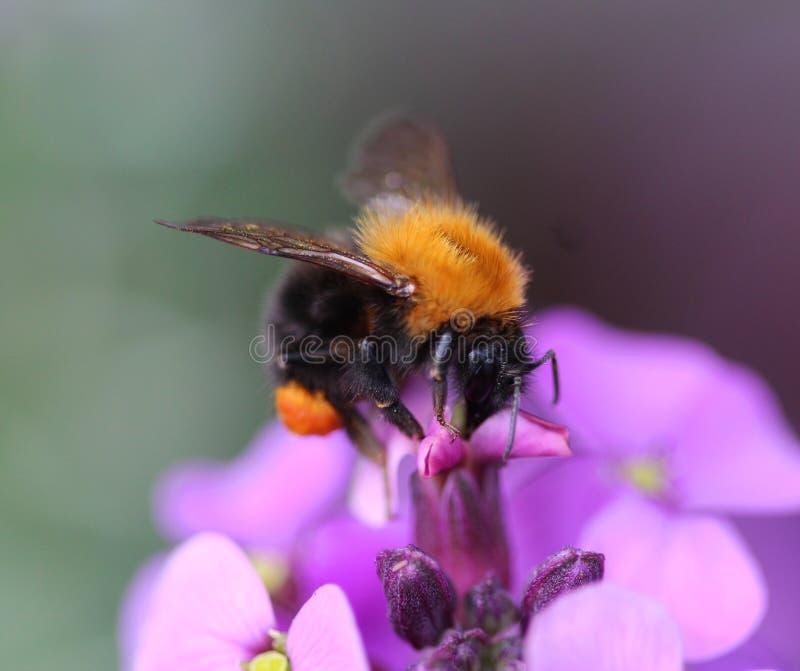 Gemeenschappelijk Carder Bee stock fotografie
