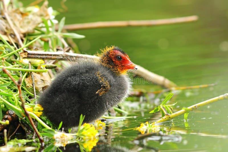 Gemeenschappelijk Europees-Aziatisch koet jong kuiken dichtbij het nest royalty-vrije stock fotografie