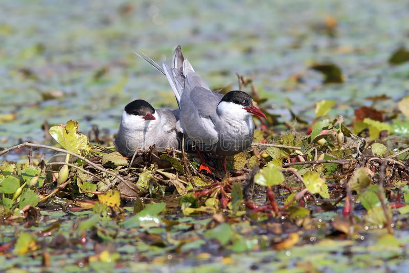 Gemeenschappelijk sternmannetje en wijfje op het nest stock foto