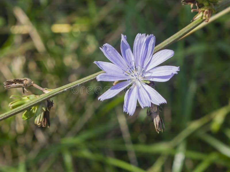 Gemeenschappelijk Witlof, Cichorium-intybus, bloem op stam met vage macro, selectieve nadruk als achtergrond, ondiepe DOF stock fotografie