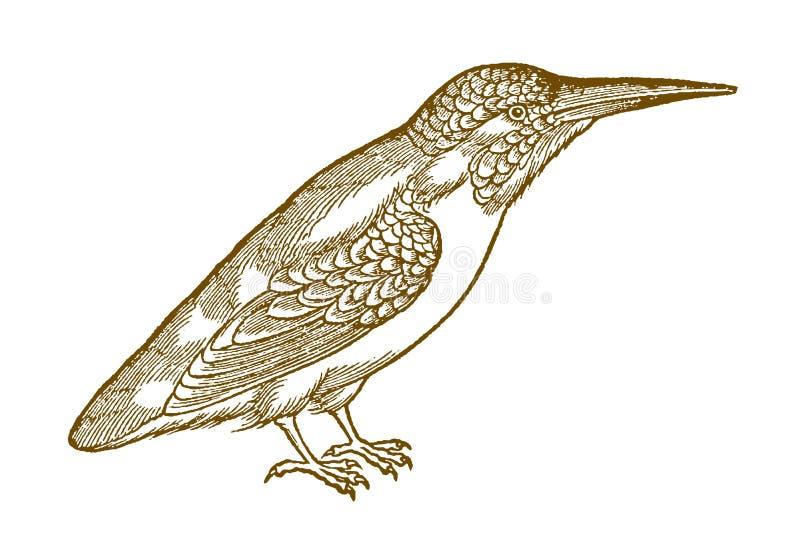 Gemeenschappelijke atthis van ijsvogelalcedo in profielmening stock illustratie