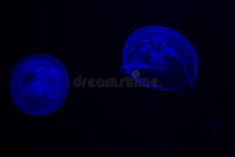 Gemeenschappelijke aurita van Kwallenaurelia met een donkere achtergrond in blauwe tonen riep ook, maankwallen, maangelei, of sch royalty-vrije stock foto