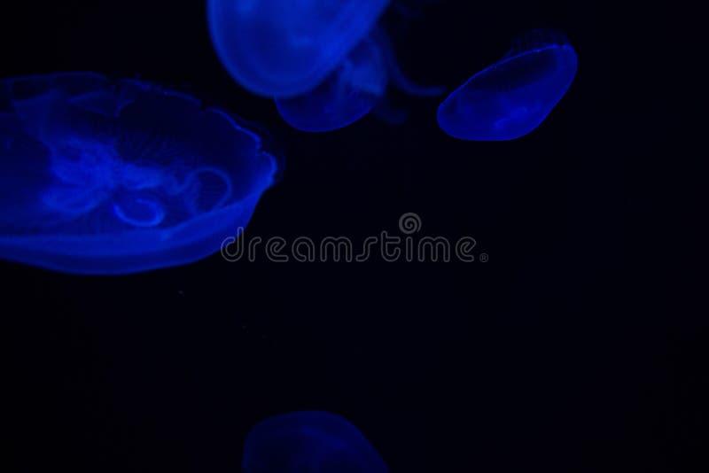 Gemeenschappelijke aurita van Kwallenaurelia met een donkere achtergrond in blauwe tonen riep ook, maankwallen, maangelei, of sch stock foto