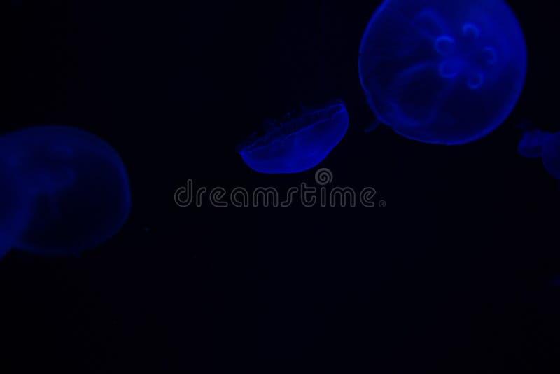 Gemeenschappelijke aurita van Kwallenaurelia met een donkere achtergrond in blauwe tonen riep ook, maankwallen, maangelei, of sch stock fotografie