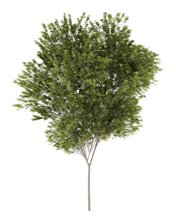 Gemeenschappelijke beukboom op wit stock illustratie