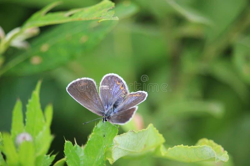 Gemeenschappelijke blauwe de vlinder vrouwelijke zitting van Polyommatus Icarus op een blad van de weideinstallatie royalty-vrije stock fotografie