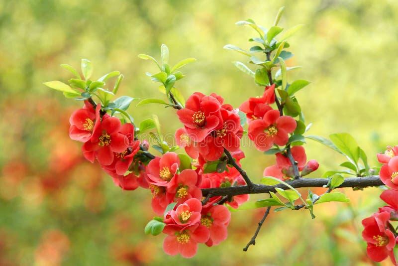 Gemeenschappelijke bloeiende kweepeer royalty-vrije stock foto