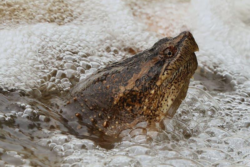 Gemeenschappelijke Brekende Schildpad royalty-vrije stock afbeelding