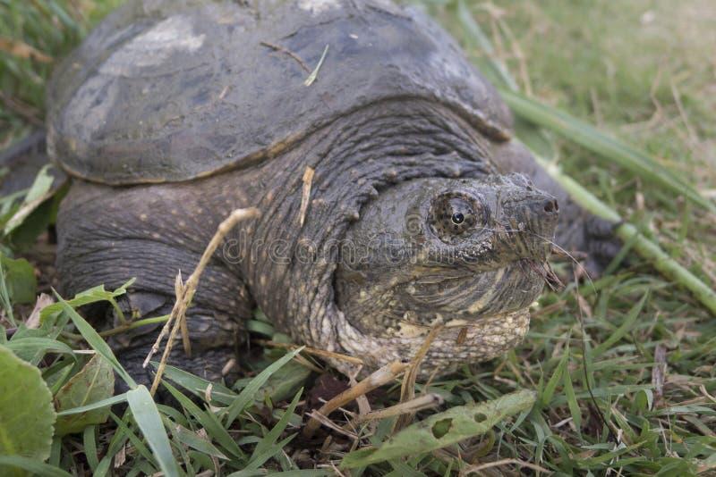 Gemeenschappelijke brekende schildpad, Chelydra-serpentina, stock afbeeldingen