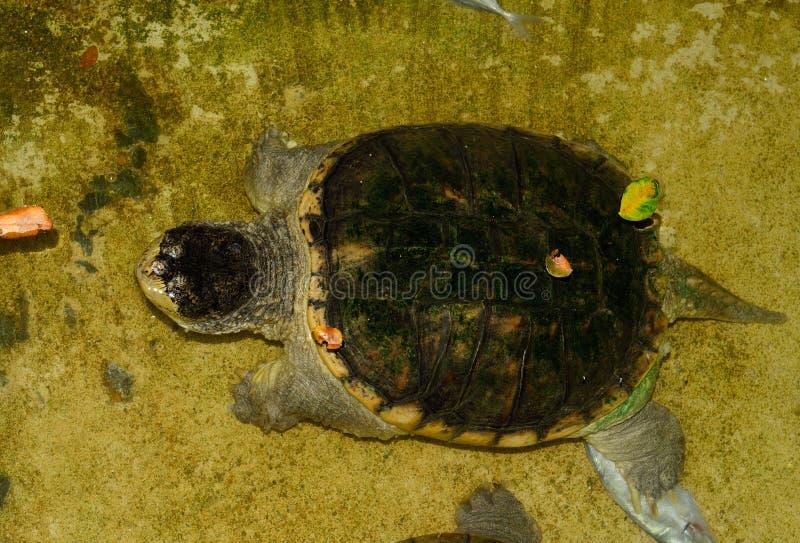 Gemeenschappelijke Brekende Schildpad (Chelydra-serpentina) stock foto
