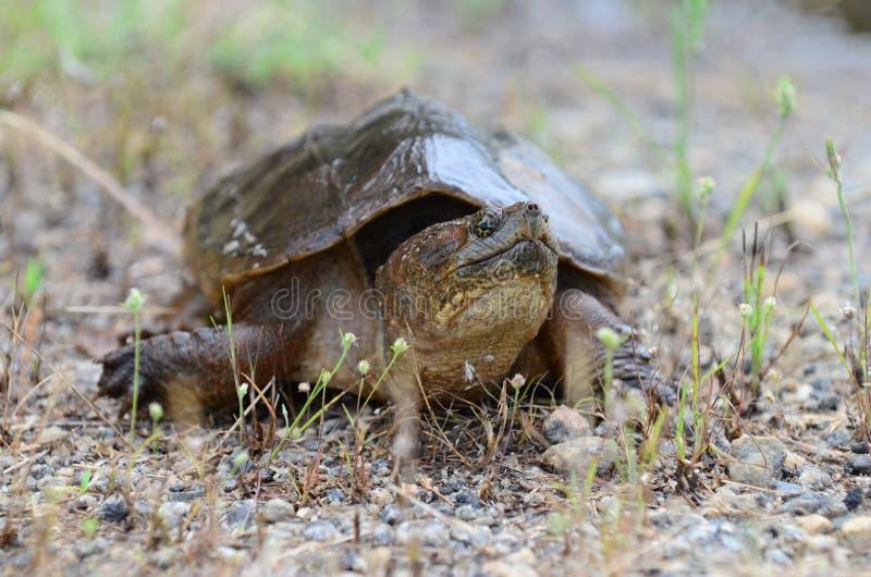 Gemeenschappelijke Brekende Schildpad, Georgië de V.S. royalty-vrije stock afbeelding