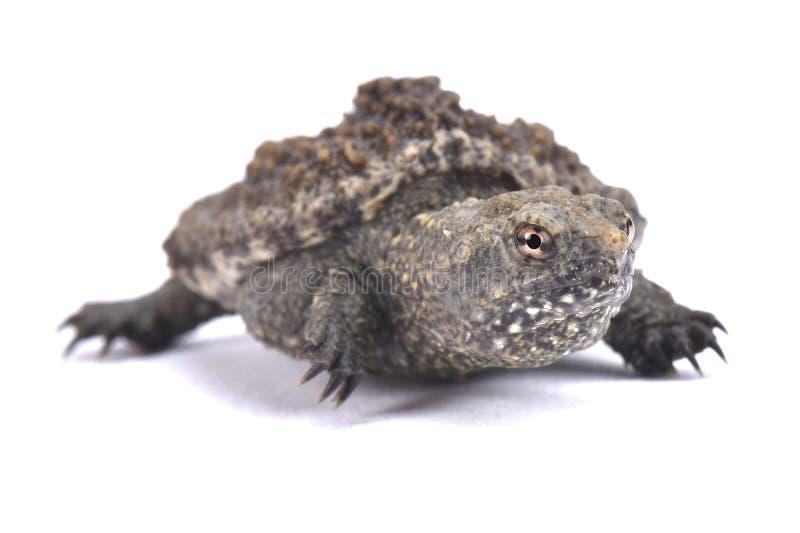 Gemeenschappelijke Brekende Schildpad, serpentina Chelydra stock foto's
