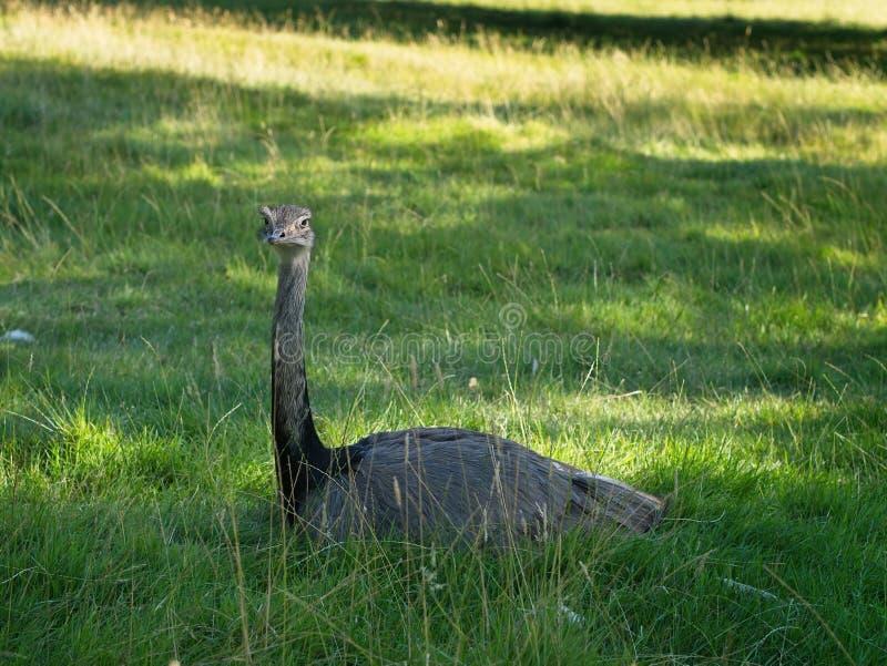 Gemeenschappelijke camelus die van struisvogelstruthio in de schaduw rusten De groene achtergrond van het grasgebied stock foto