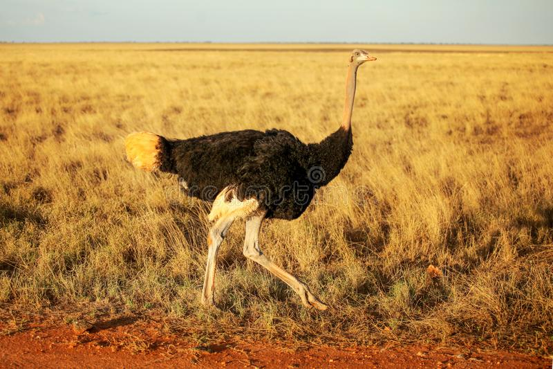 Gemeenschappelijke camelus die van struisvogelstruthio op savanne in afternoo lopen royalty-vrije stock foto