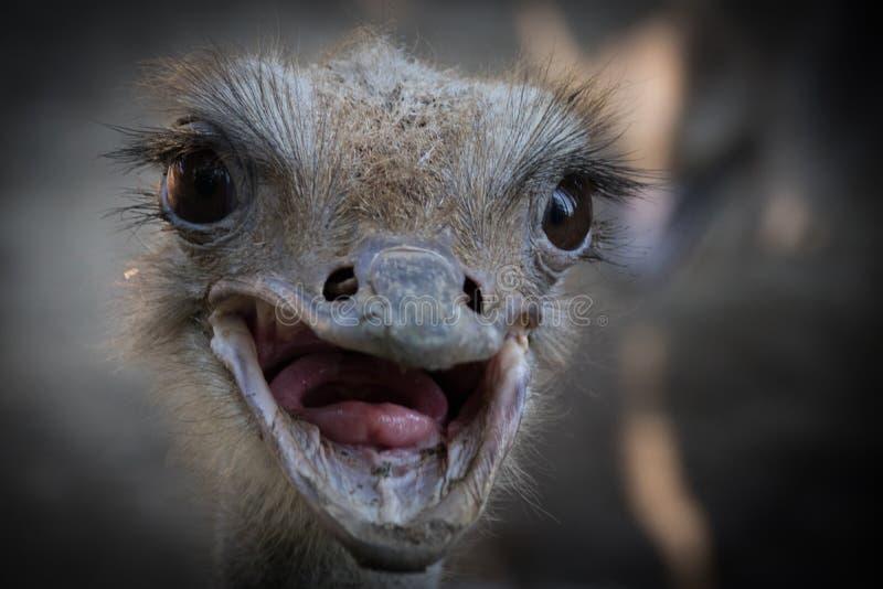 Gemeenschappelijke camelus van struisvogelstruthio stock afbeelding