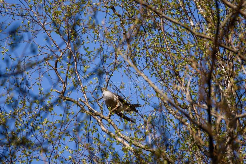 Gemeenschappelijke canorusvogel van koekoekscuculus op boom stock fotografie