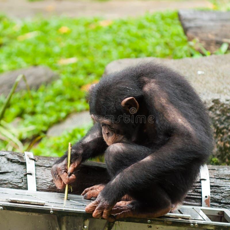 Gemeenschappelijke Chimpansee stock foto