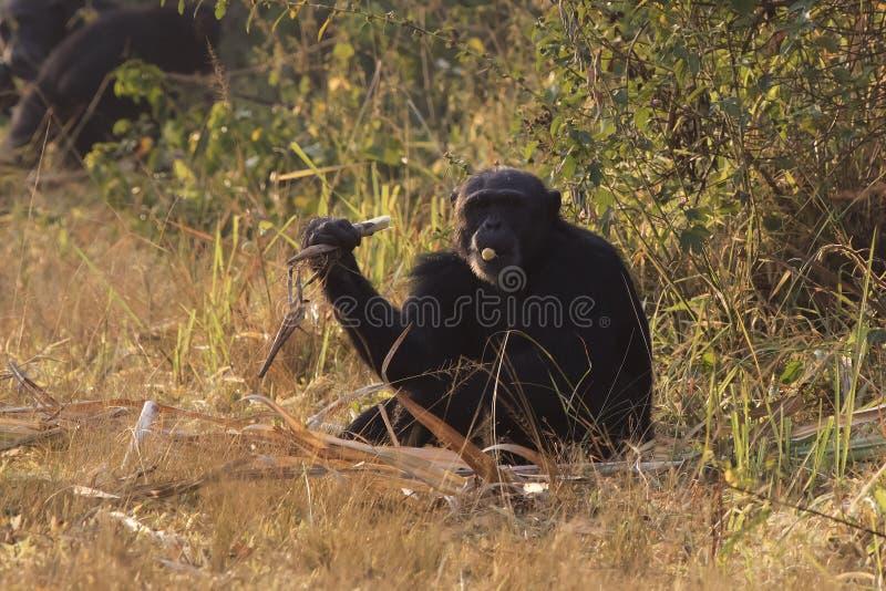 Gemeenschappelijke chimpansee die bij de rand van het bos zit en a.c. heeft stock fotografie