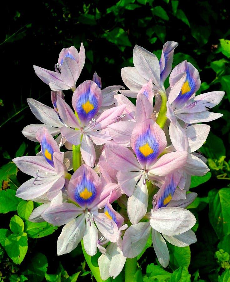 Gemeenschappelijke de bloem dichte omhooggaand van de waterhyacint royalty-vrije stock afbeeldingen