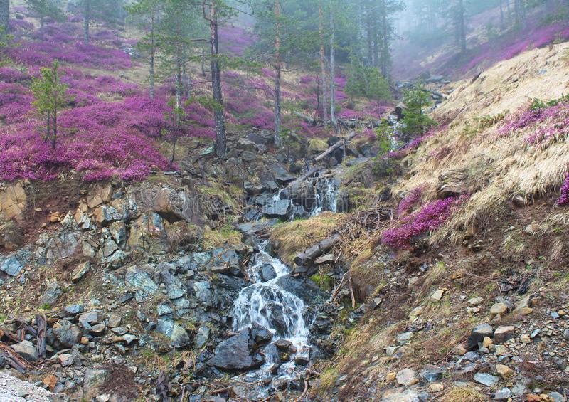 Gemeenschappelijke de Winterdopheide van Erica Carnea in altijdgroen bos, in mist royalty-vrije stock afbeelding