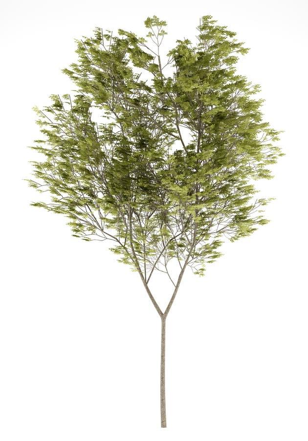 Gemeenschappelijke die beukboom op wit wordt geïsoleerd stock afbeelding