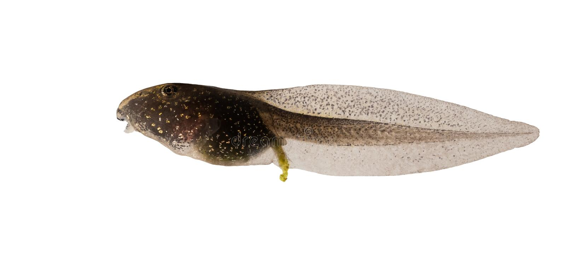 Gemeenschappelijke die Kikker, Rana-temporariakikkervisje op witte achtergrond wordt geïsoleerd stock foto
