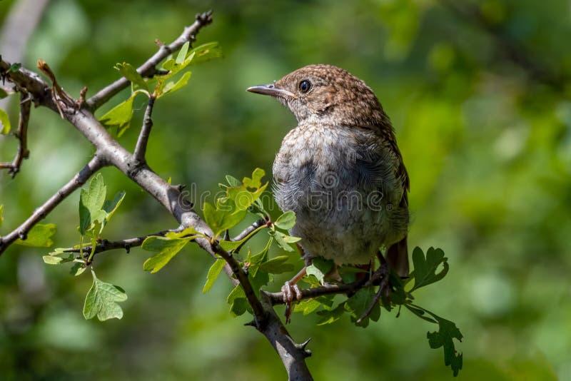 Gemeenschappelijke die NightingaleLuscinia-megarhynchos op een tak wordt neergestreken royalty-vrije stock foto's